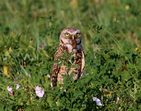 Burrowing Owl with Toad - Badlands National Park, South Dakota