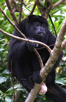 Mantled Howler Monkey - Costa Rica