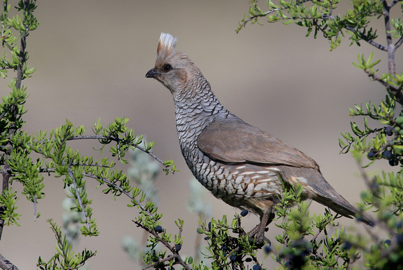Scaled Quail - Big Bend National Park
