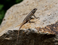 Southern Prairie Lizard - Big Bend National Park.  Chisos Mounta