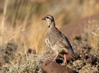 Chukar - Cody, Wyoming