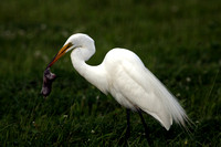 Great Egret with vole