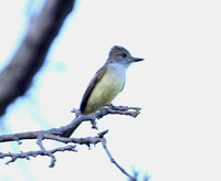 Brown-crested Flycatcher - Casa Solimar, Costa Rica