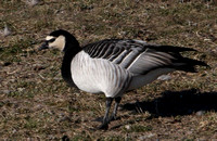 Barnacle Goose - documentation photo