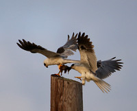 White-tailed Kite - Fight over prey - Galveston, Texas