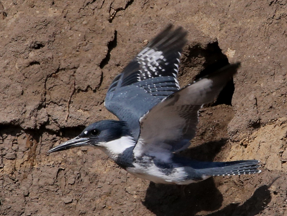 Belted Kingfisher at Nest