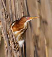 Least Bittern - Anahuac National Wildlife Refuge, Texas.