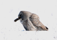 Great Gray Owl with Vole