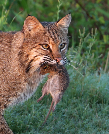 Bobcat with Hispid Cotton Rat