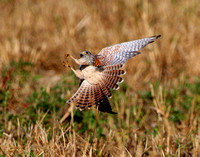 American Kestrel attempting to catch a butterfly