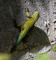 Green Spiny Lizard