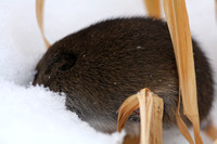 Meadow Vole after GHO attack