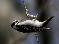 Downy Woodpecker with caccoon?