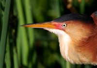 Least Bittern Closeup