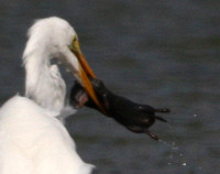 Great Egret with Baby Mink