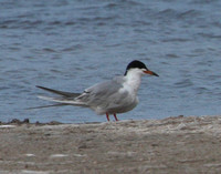 Common Tern?