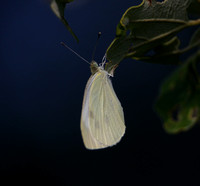 European Cabbage Butterfly?