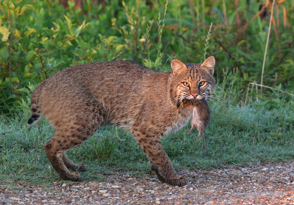 Bobcat with Hispid Cotton Rat - Anahuac NWR, Texas