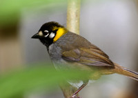 White-eared Ground Sparrow - San Jose, Costa Rica