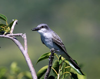 Gray Kingbird - Saint Kitts