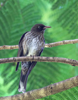 Pearly-eyed Thrasher - Saint Kitts