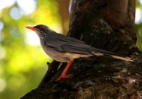 Red-legged Thrush - Puerto Rico