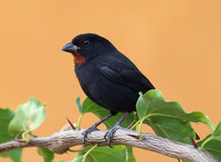 Lesser Antillean Bullfinch - Saint Kitts