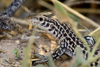 Common Checkered Whiptail