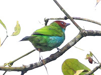 Bay-headed Tanager - Mindo, Ecuador
