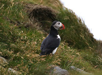 Atlantic Puffin - Iceland