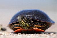 Painted Turtle (Western) - Wyoming