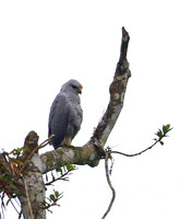 Gray Hawk - Rio Silanche Bird Sanctuary - Ecuador