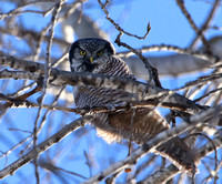 Northern Hawk Owl - Eau Claire, WI