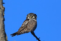 Northern Hawk Owl - Sax-Zim Bog, Minnesota