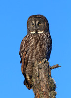 Great Gray Owl - Sax-Zim Bog, Minnesota