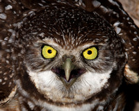 Burrowing Owl Closeup