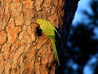 Rose-ringed Parakeet - Rome, Italy