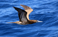 Brown Booby - Martinique