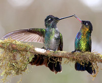 Magnificent and Fiery-throated Hummingbirds - Suria, Costa Rica