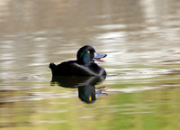 New Zealand Scaup - New Plymouth, New Zealand