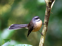 New Zealand Fantail - Pekapeka Wetlands, New Zealand