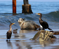 Harbor Seal - Carpinteria, California