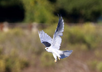 White-tailed Kite - Rancho Sierra Viste - Newberry Park, Califor