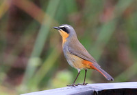 Cape Robin-chat - Cape Town, South Africa