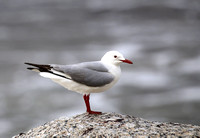 Hartlaub's Gull - Cape Town, South Africa