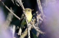 Pacific-slope Flycatcher - Camarillo, California