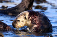 Sea Otter with Red Algae Growth on Fur - Morro Bay, California