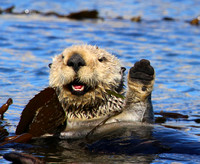 Sea Otter - Morro Bay, California