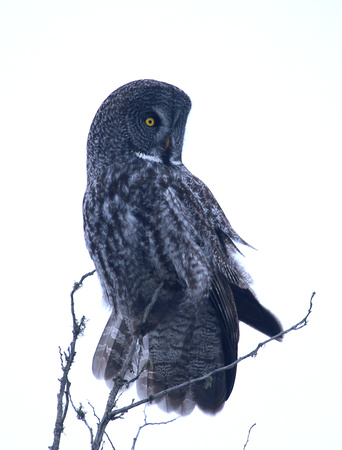 Great Gray Owl Sax Zim Bog, MN