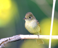 Pacific-slope Flycatcher - Santa Monica Mountains, California